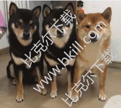 6枚高清版 免费版   狗出列归队表情包是一组超级搞笑的柴犬出列gif图片